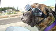 Bullmastiff trained to wear Doggles